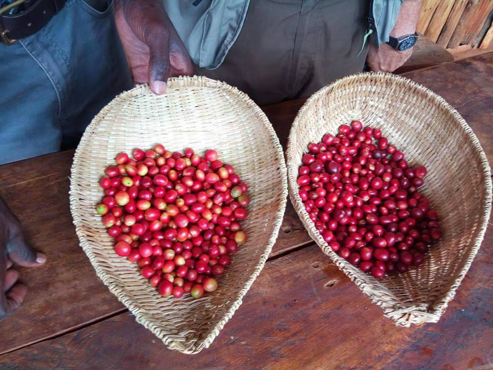 Uganda's Coffee Exports Spike by 38% Raking in USD 545M up